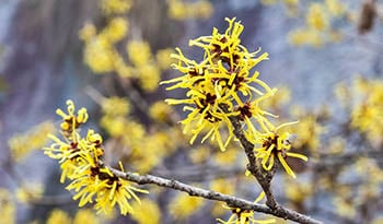 14 Amazing Uses for Witch Hazel