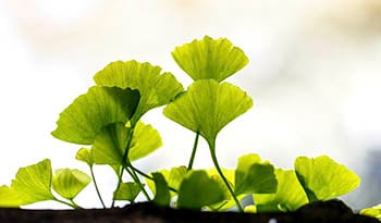 A Quick Guide to Ginkgo Biloba