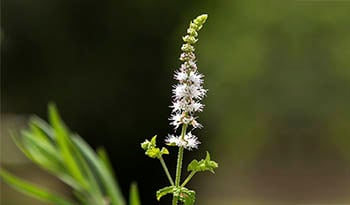 Black Cohosh and Women's Health