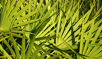 Can Saw Palmetto Help Improve Men's Health?