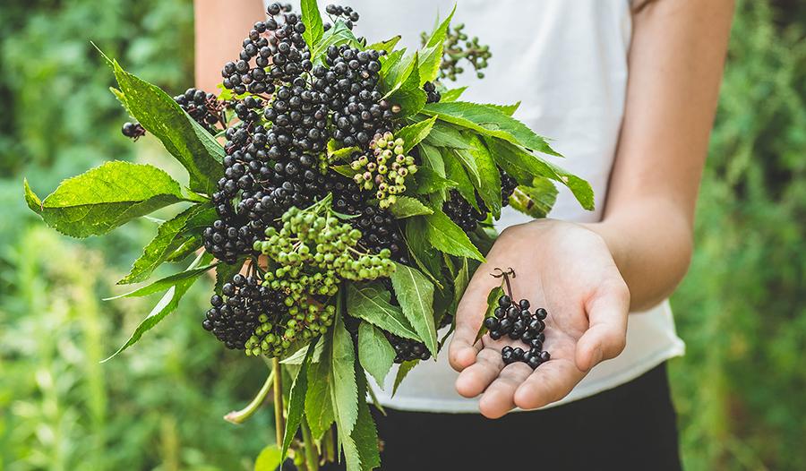 Hands holding elderberry (Sambucus nigra) in garden