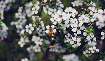 7 Healing Health Benefits of Manuka Honey