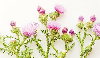 Milk Thistle: The Best Supplement to Support Liver Health